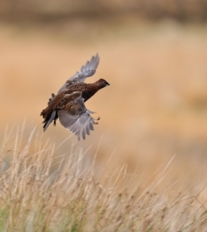 Red Grouse Flying www.lauriecampbell.com